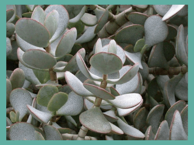 How to get a Jade Plant to bloom?