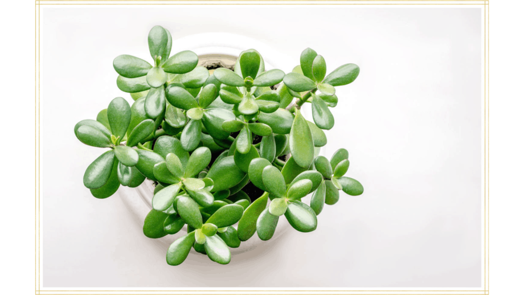 How to care for a Jade Plant outside?