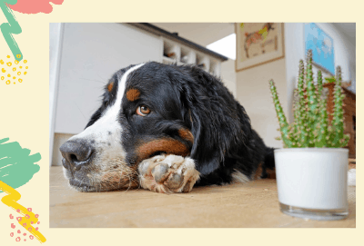 Are Jade Plants poisonous to dogs? [Complete Facts 2021]