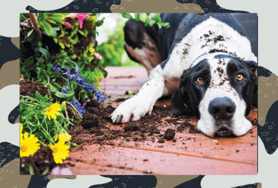 Are Jade Plants poisonous to dogs?