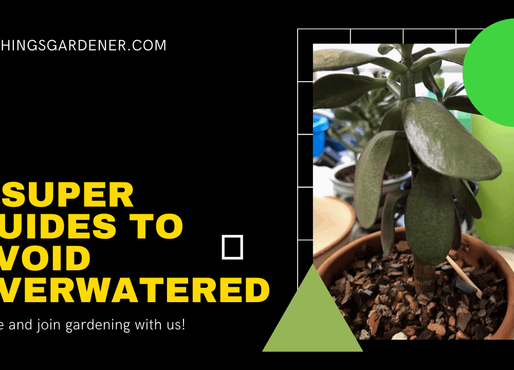 4 Superb Guides to Avoid Overwatered Jade