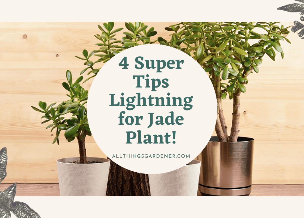 Lightning for Jade Plant, 4 Super Tips Will Help You Growing Your Jade Plant Faster!