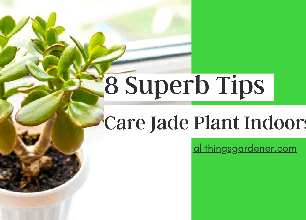 8 Superb Tips and Guides To Care Jade Plant Indoor