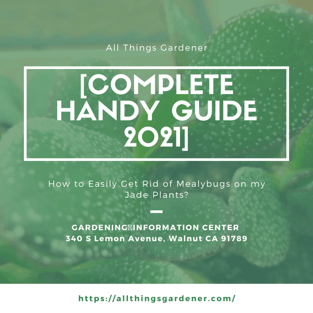 How to Easily Get Rid of Mealybugs on my Jade Plants? [Complete Handy Guide 2021]
