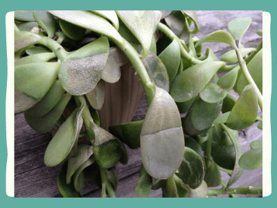 How to revive a Jade Plant?