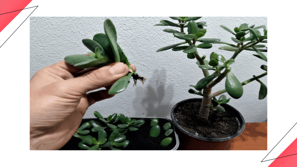 How to grow Jade Plant from a broken stem?