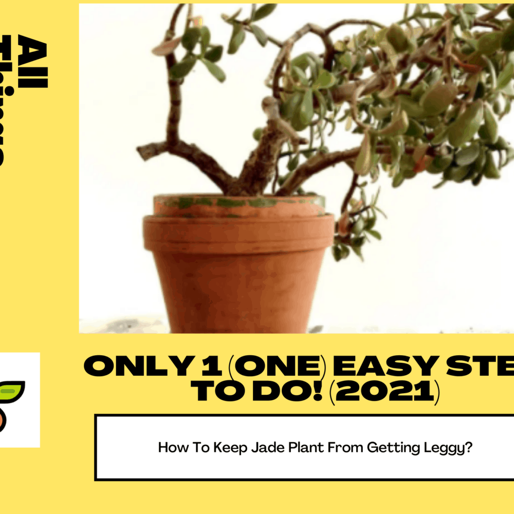 How To Keep Jade Plant From Getting Leggy? Only 1 (One) Easy Step To Do! (2021)