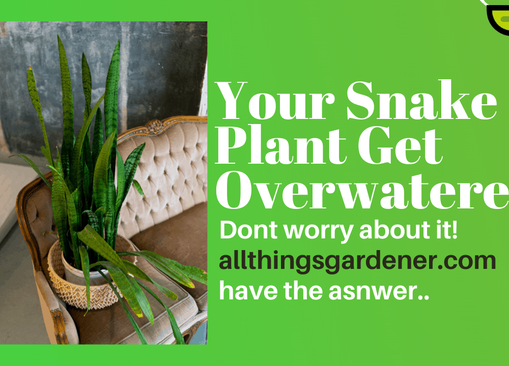 5 Superb Tips To Save Overwatered Snake Plant