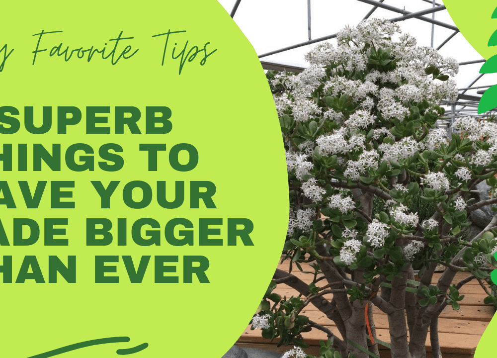 3 Superb Things For Your Jade To Grow The Trunks Bigger