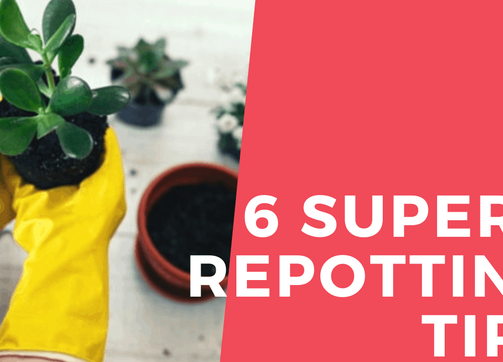 6 Superb Repotting Tips and Guides for Jade Plant
