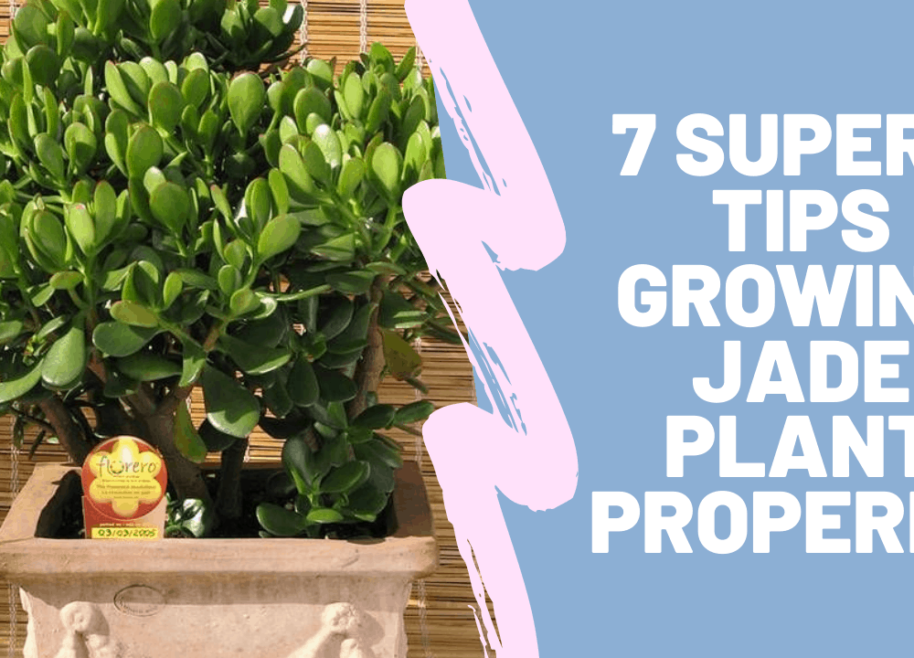 Growing Jade Properly, 7 Superb Tips For You To Avoid Killing Your Jade