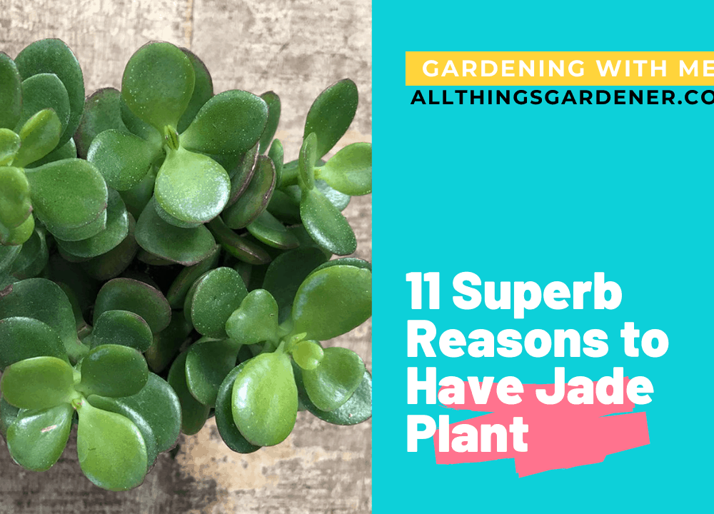 11 Superb Tips and Reasons Have Houseplant: A Jade Plant 2021!