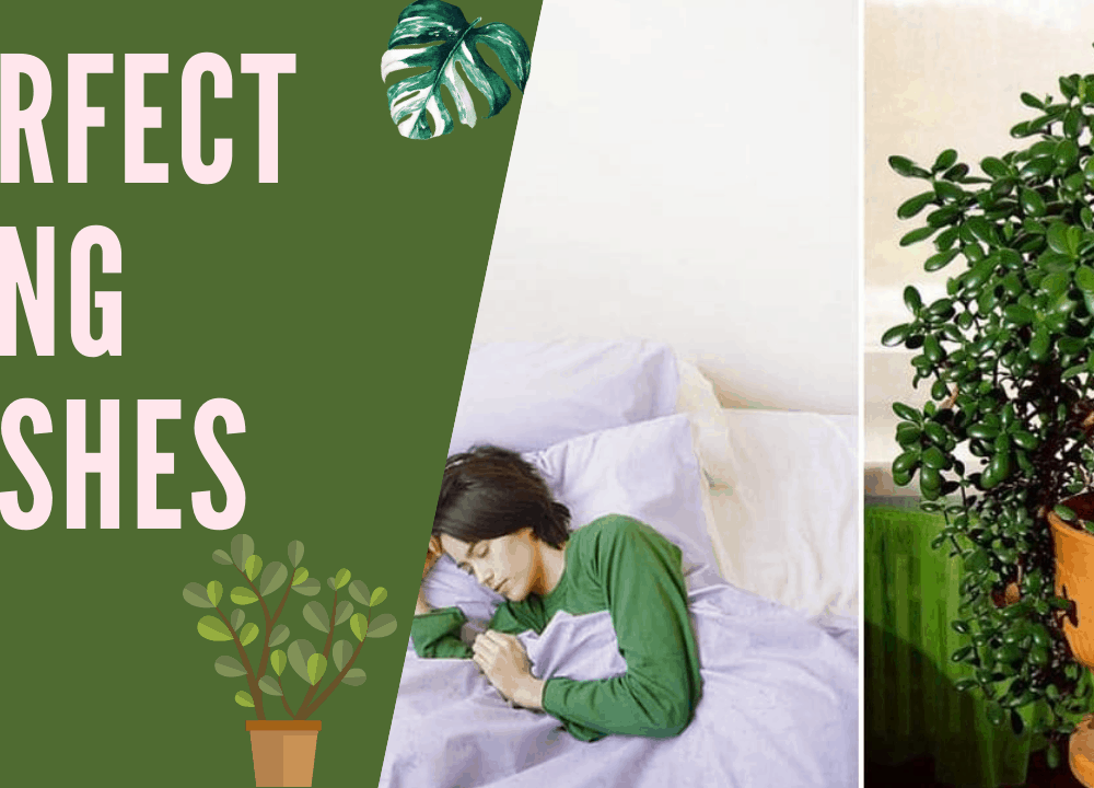 2 Superb Fact About Jade Plant as Air Purifying!