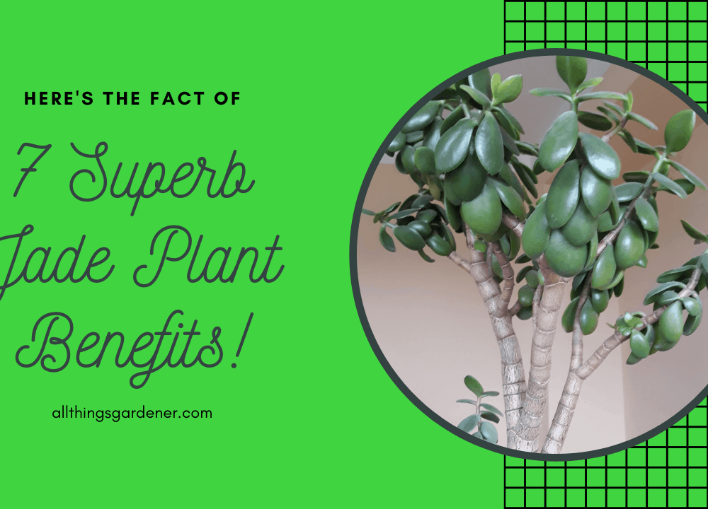 7 Superb Jade Plant Benefits That You Need to Know 2021