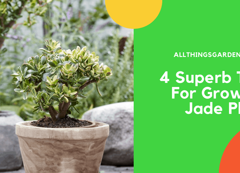 4 Superb Tips For Growing Jade Plant