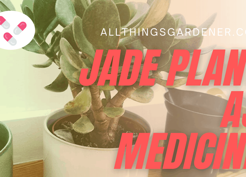 3 Amazing Facts Of Jade Plant as Medicine That You Need To Know!