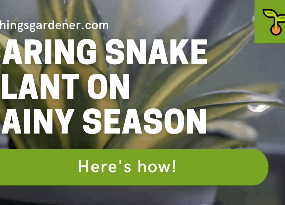 Superb Amazing Tips In Rainy Seasons For Caring Snake Plants 2021