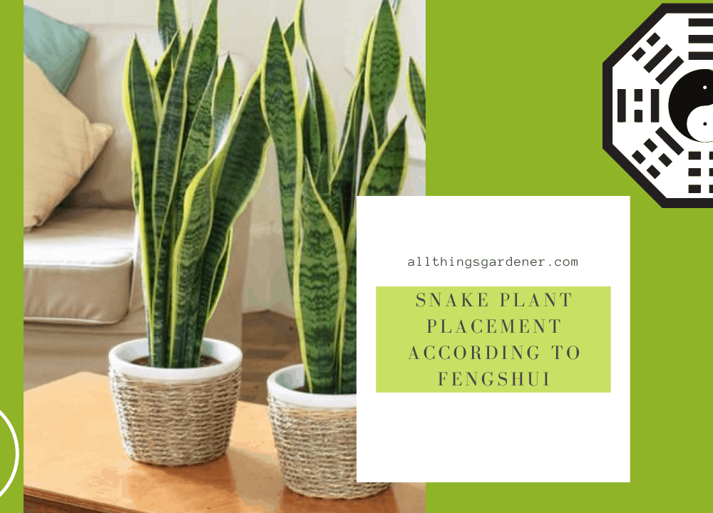 4 Superb Tips Snake Plant Placement: According to Feng Shui 2021
