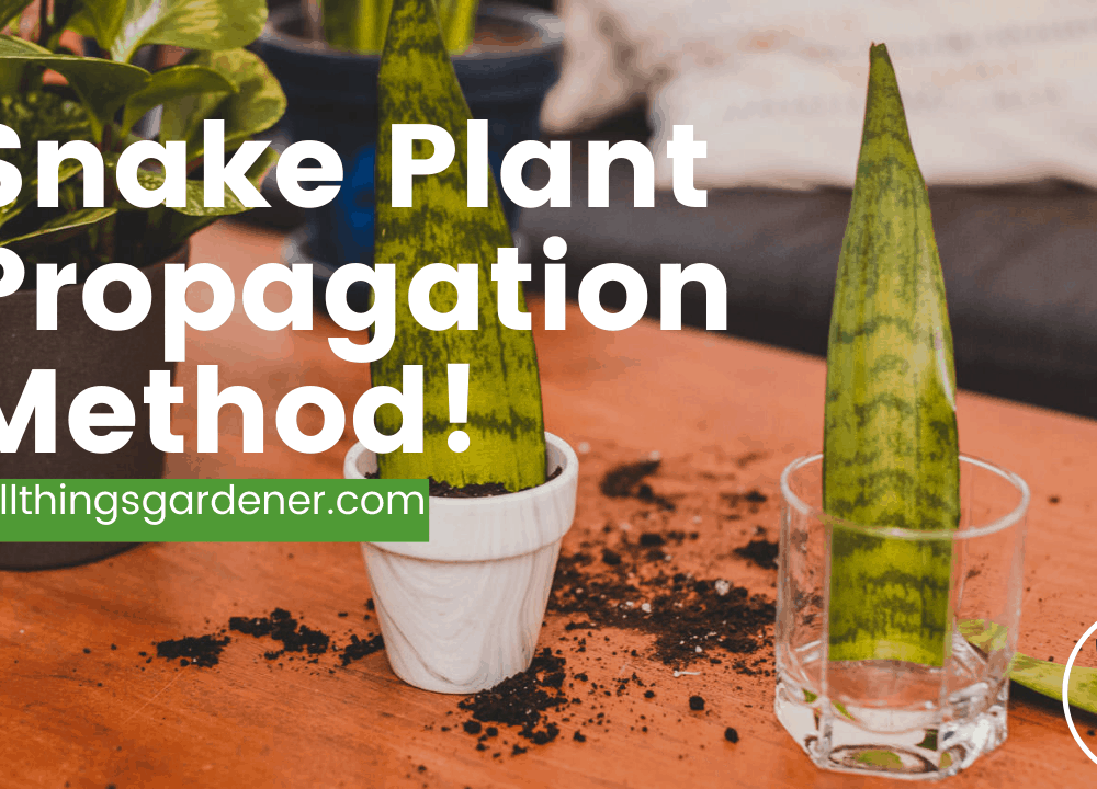 Superb 4 Guides Snake Plant Propagation Method That You Can Use Today! (2021)