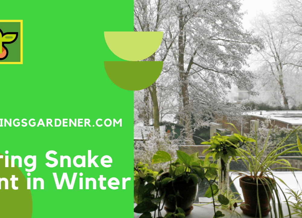 4 Superb In Winter About Having Snake Plant 2021