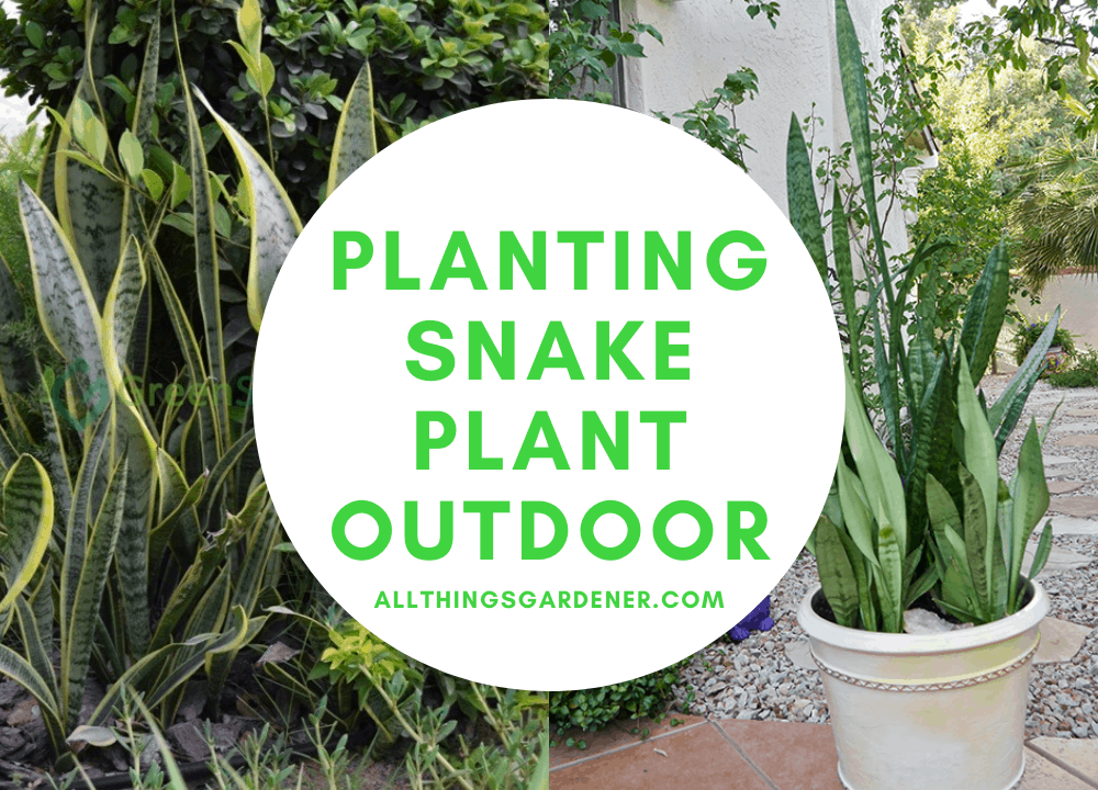 2 Super Facts For Planting Snake Plant Outdoor 2021