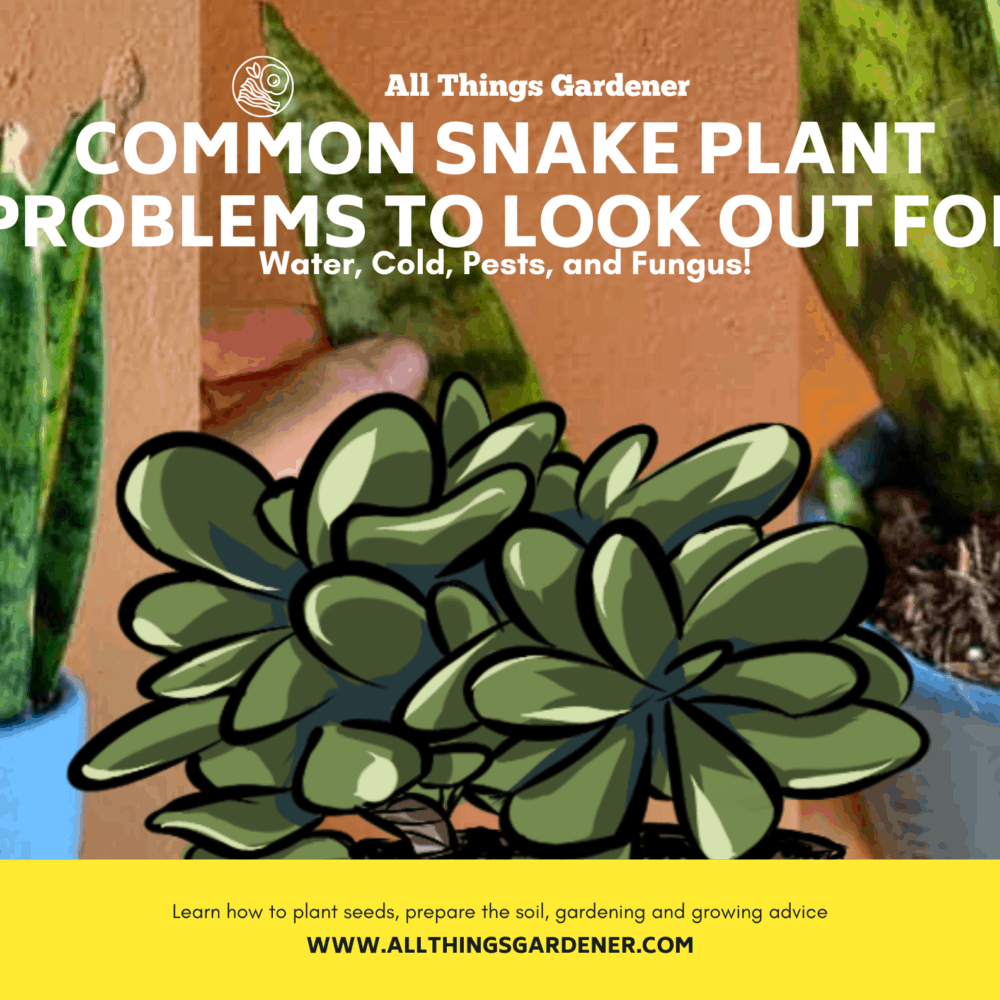 The Absolute Common Snake Plant Problems To Look Out For: Water, Cold, Pests, And Fungus [2021]!