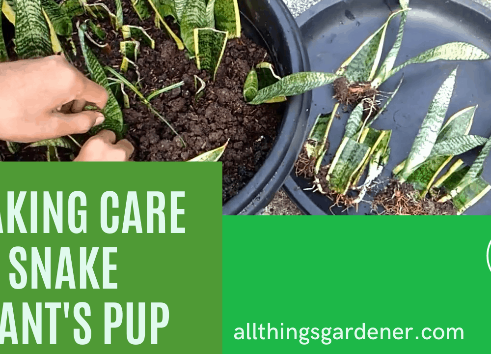 Snake Plant Have a Pups! Here Superb Amazing Guide To Take Care Of It! (2021)