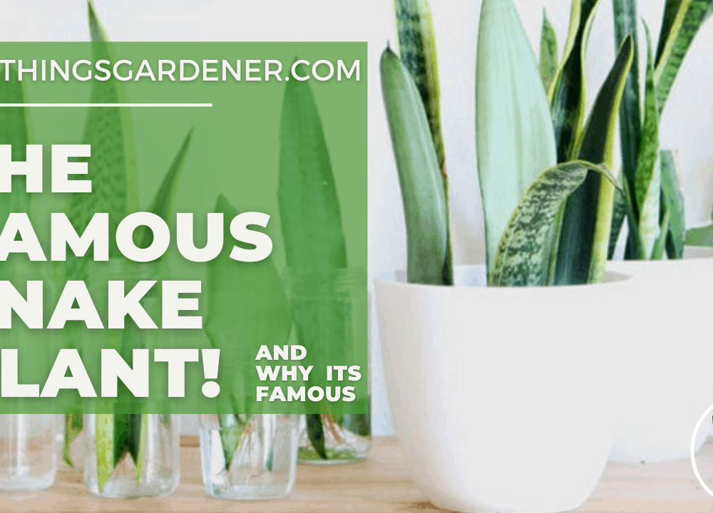4 Superb Fact Why Snake Plant So Famous 2021