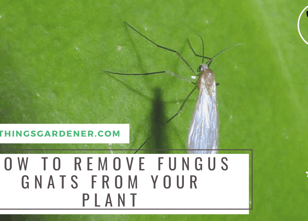 5 Superb Amazing Facts About Fungus Gnats and How To Safely Get Rid Of Them (2021)