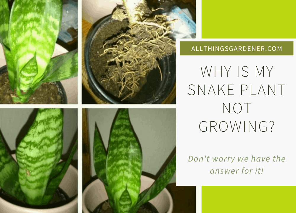 Superb Amazing Tips For Caring Snake Plant Not Growing?: 5 Things You May Have to Consider About It (2021)