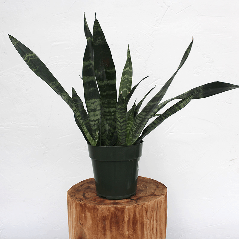 Amazing Black Coral Snake Plant: Another Snake Plant For Your Collection! (2021)