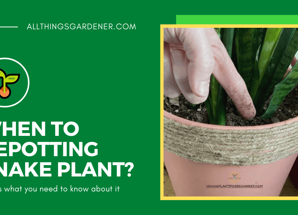 4 Superb Amazing Fact When To Repotting Snake Plant 2021