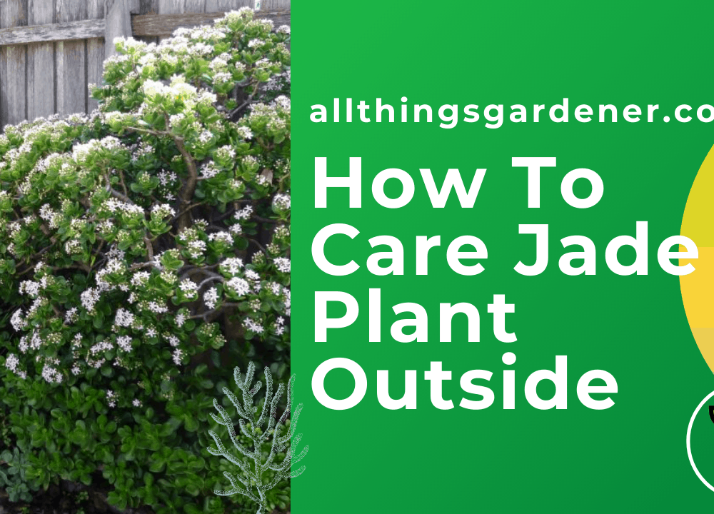 How to care for a Jade Plant outside? Presents you 7 (seven) essential instructions!