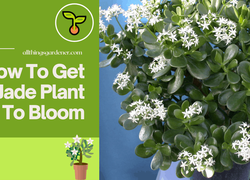 How to get Jade Plant to bloom? These 2 simple techniques will make your Jade Plant bloom faster!