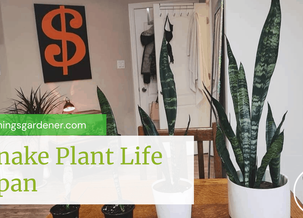 Superb Amazing Facts About Snake Plant Life Span (2021)