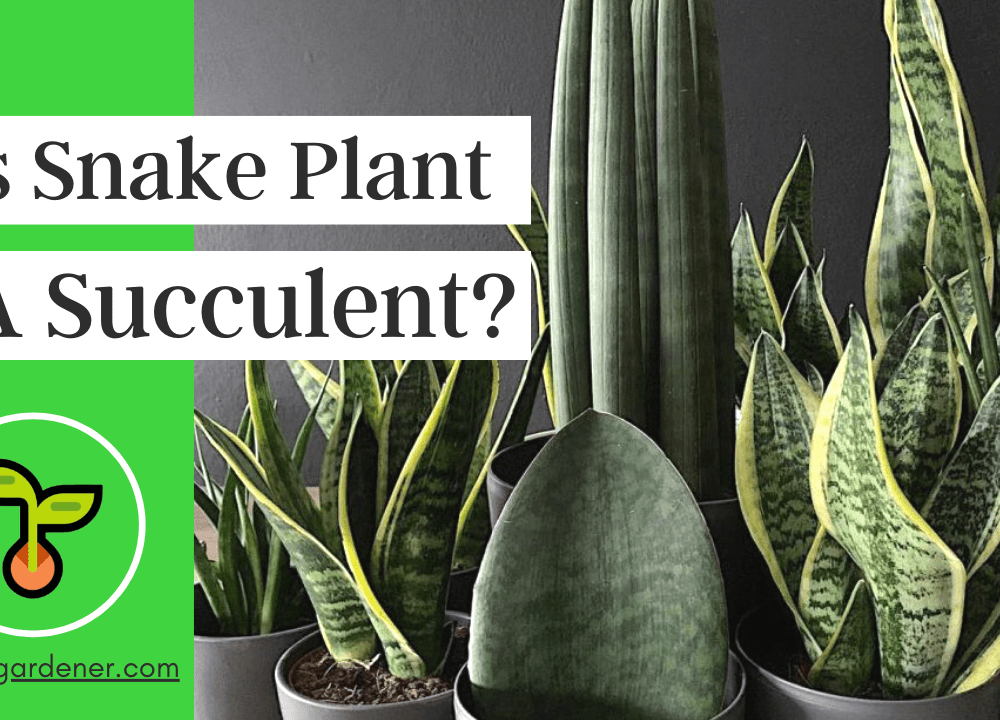 """Superb Amazing Fact About The Fact """"Is the Snake Plant Succulent?"""" (2021)"""