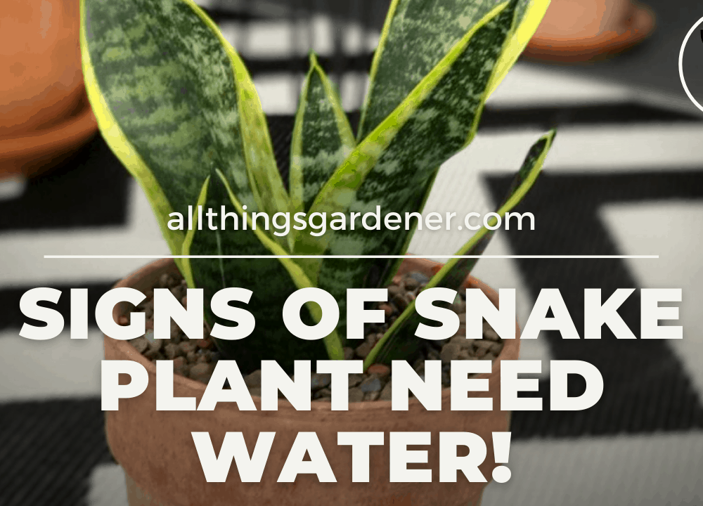 Superb Amazing Facts The Sign of Snake Plant Need Water! (2021)