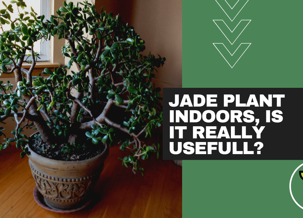 Is Growing Jade Plants Indoors Really Useful? This 7(seven) Proven Facts of Jade Plants That You Didn't Know