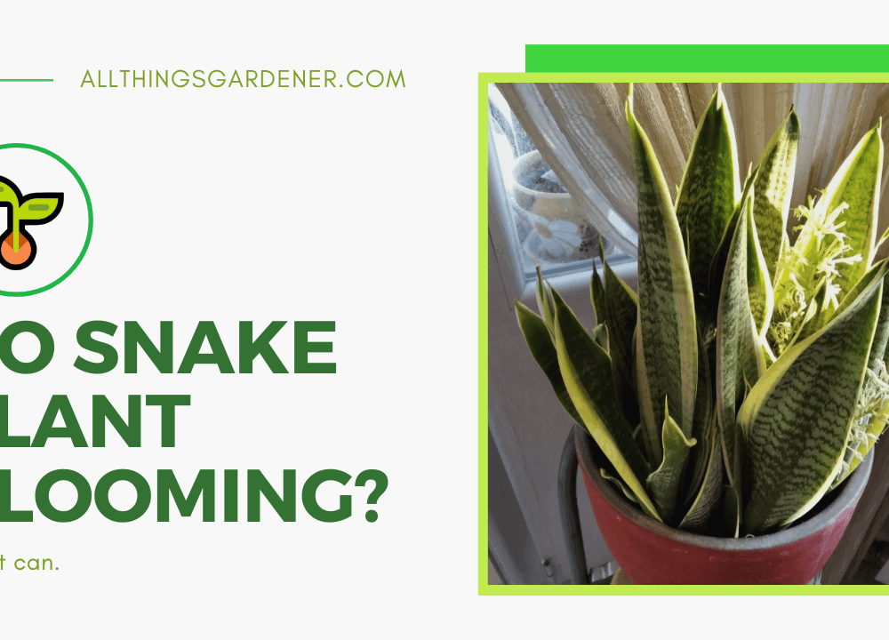 Do Snake Plants Flower? The Attractive Miracle Of Blooming Snake Plant Under Stress: Your Awaited Time Of The Year 2021