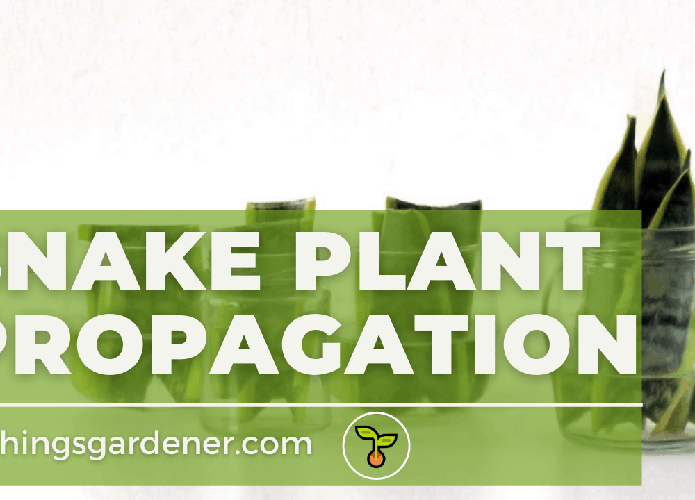Superb Amazing Guides To Propagating Snake Plant (2021)