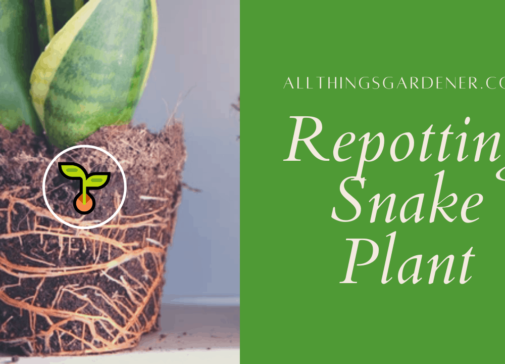 Superb Amazing Guides for Repotting Snake Plant (2021)