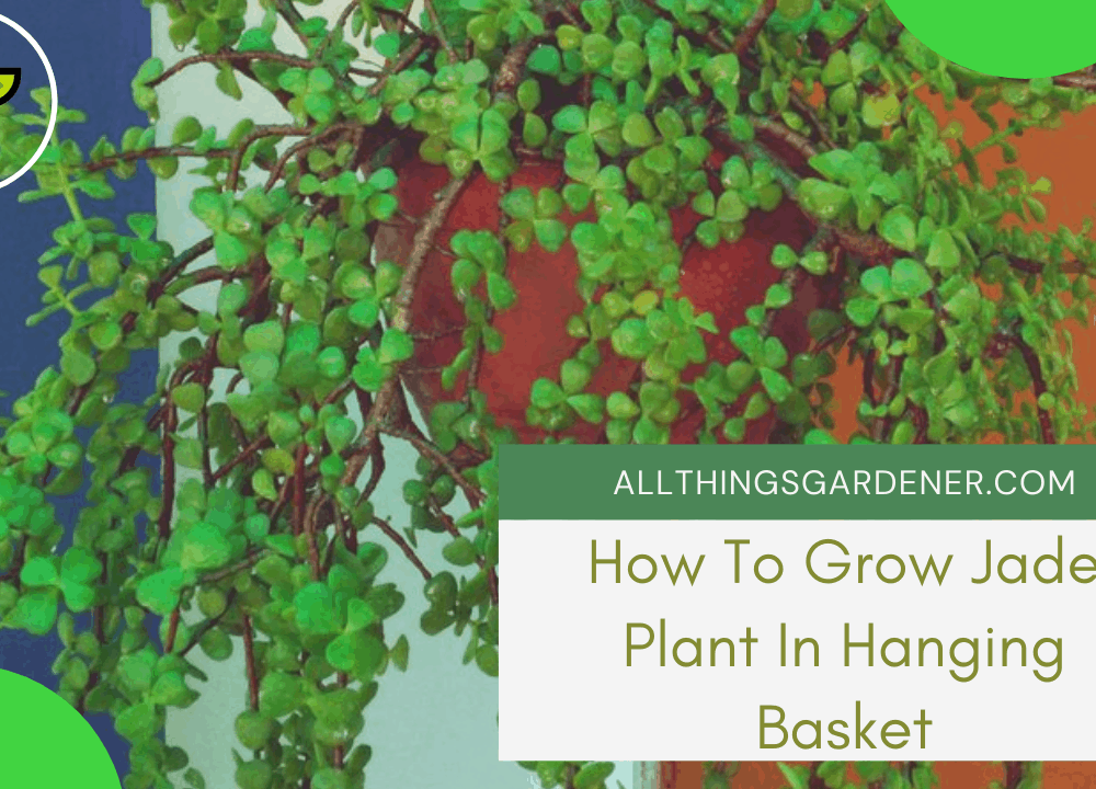 3 Superb Amazing Facts About How to Grow Jade In Hanging Basket Easily In 2021