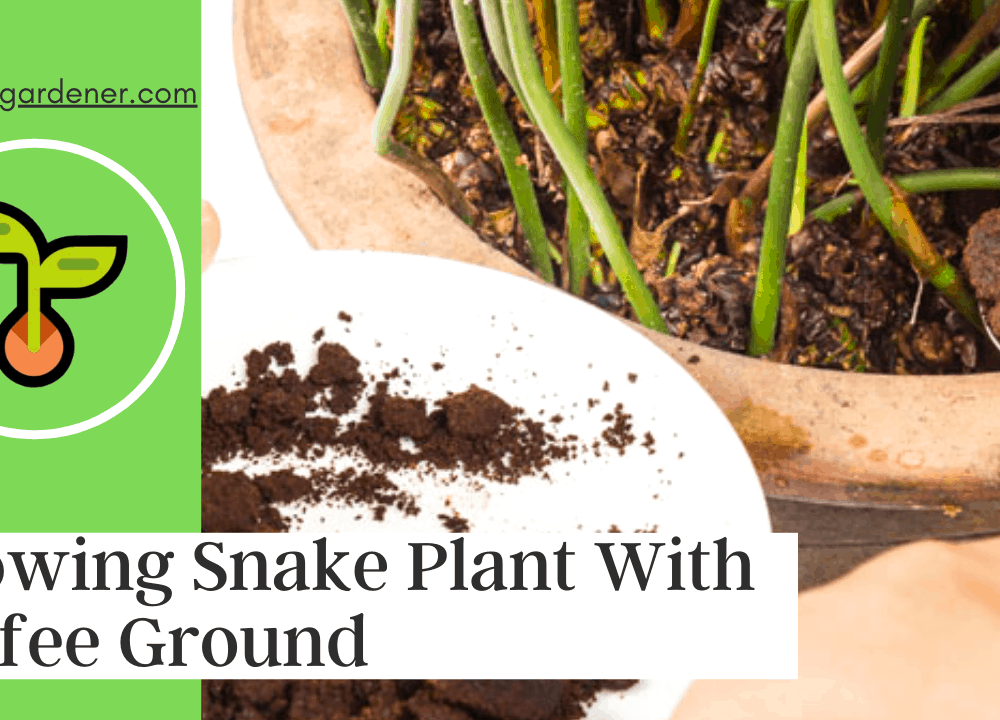 Superb Amazing Fact About Growing Snake Plant With Coffee Ground, Is That Possible? (2021)