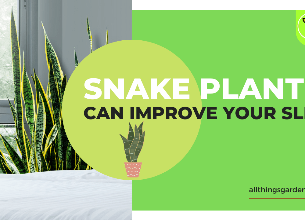 Can Snake Plant Improve Sleep? Superb Amazing Facts About It! (2021)