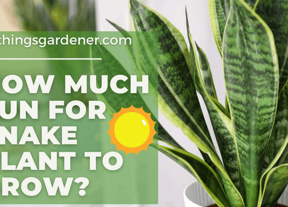 Superb Amazing Fact About How Much Sun For Snake Plant to Grow (2021)