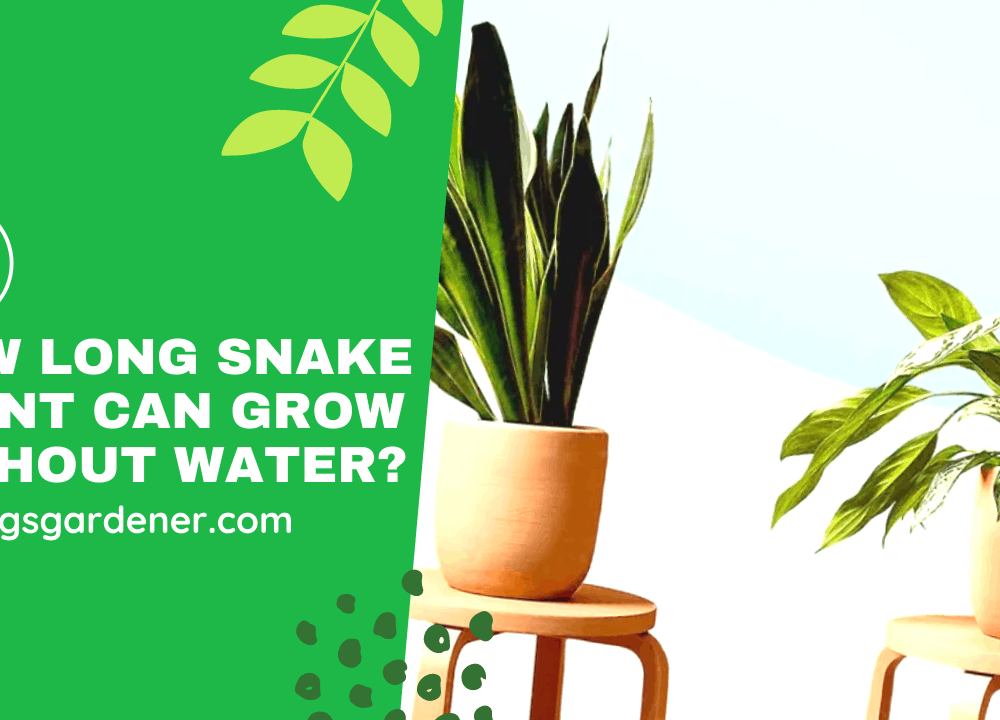 Superb Amazing Facts About How Long Can Snake Plant Survive Without Water (2021)