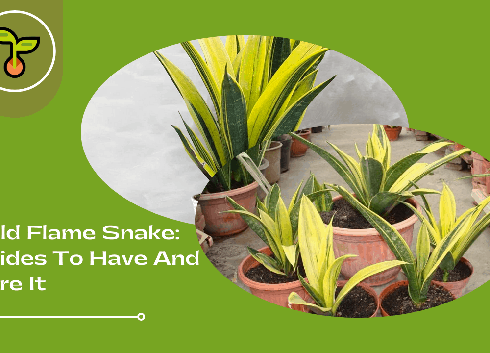 Superb Amazing Fact About Gold Flame Snake Plant: Guides and Care 2021