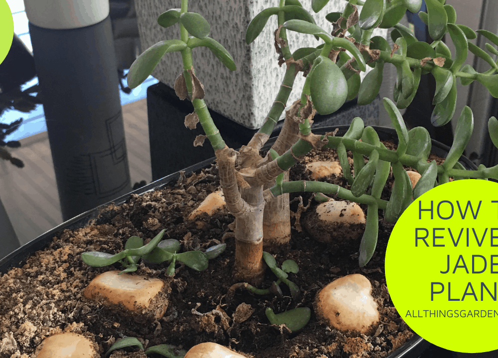 How to revive a Jade Plant? This 1 (one) mind-blowing technique will bring back your dying Jade!