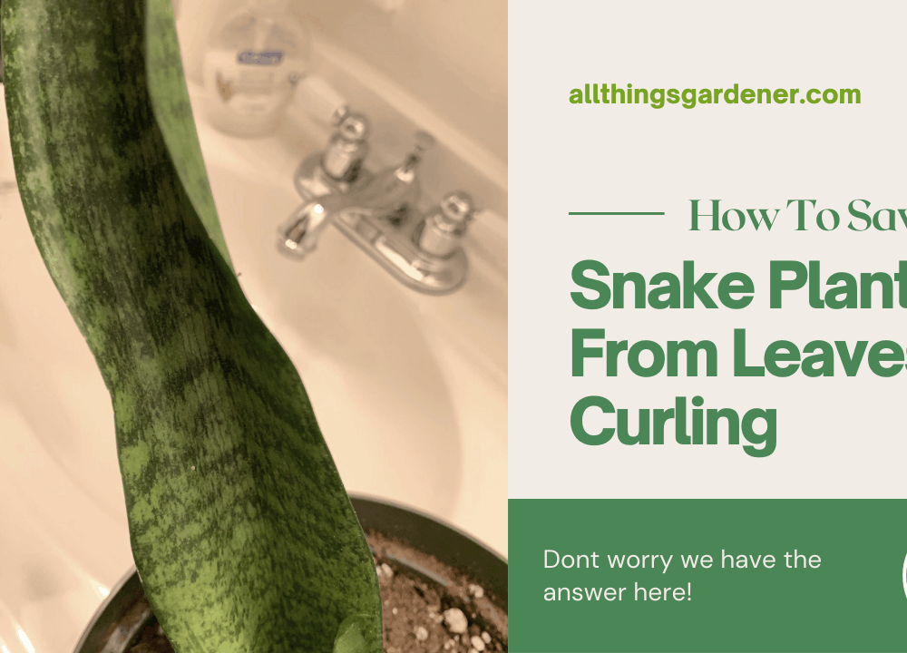 Why My Snake Plant Leaves Curl? 8 Superb Facts Of Main Causes with Solutions (2021)