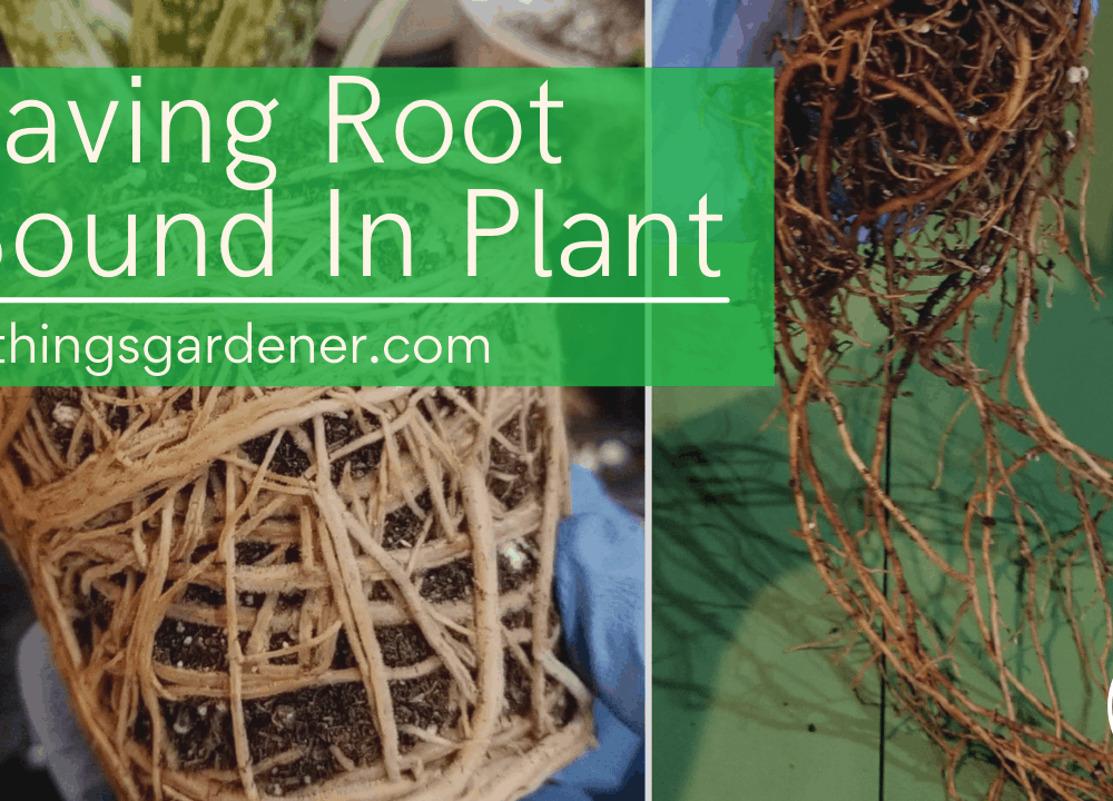 Superb Amazing Facts  About Root Bound Plant: Symptoms, Treatment, and Prevention on Snake Plant (2021)